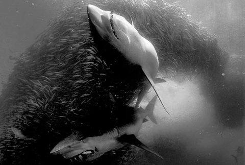 StevenTaylorPhoto - WEB LOG #sharks #underwater #los #angeles