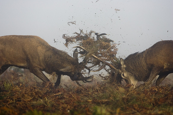 (thingswithantlers: Bythewildlifephotographer) #antlers #deer #stags #clash #photography #fight #animal