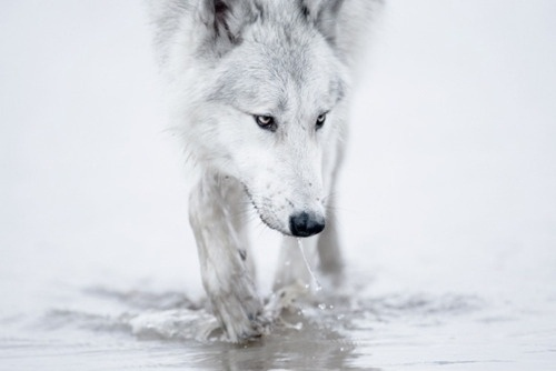 nonclickableitem #white #water #wolf