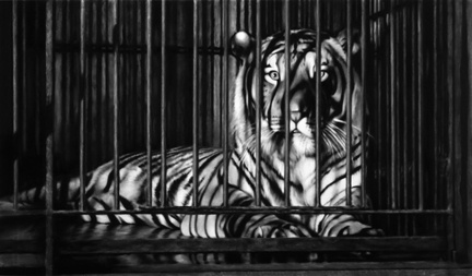 ROBERT LONGO - Works - THE MYSTERIES, 2009 - Untitled (Homage to Robert Bresson's au hasard balthazar) #blackwhite #white #robert #longo #charcoal #black #and #tiger