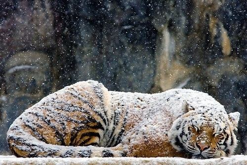 1--9 #sleeping #big #snow #cat #photography #tiger #dusting