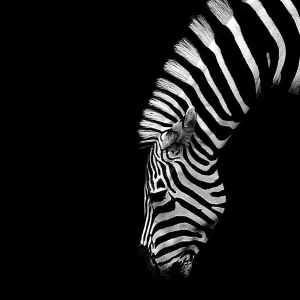 Zebra #bw #photography #animal #zebra
