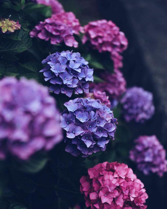 Gorgeous hydrangeas by Kaori Tanimoto
