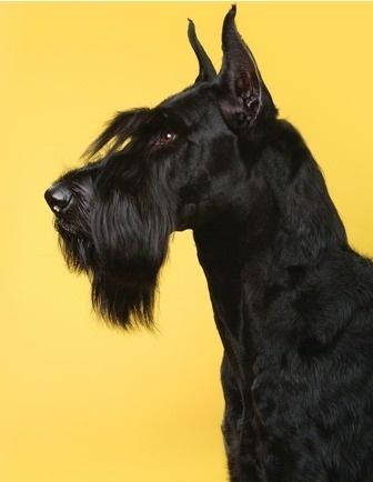 Photography #photo #yellow #black #portrait #dog