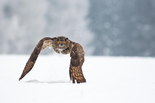 DesignersMX: Owl in flight by futureMe #photo #owl #snow