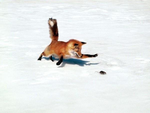 5bbe8f80.jpg (1600×1200) #red #fox #mouse #minimal #hunt #winter
