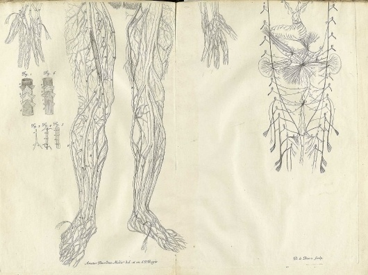 Bourdon-t07A.jpg 1601×1200 pixels #dissection #drawing #anatomy #nerves