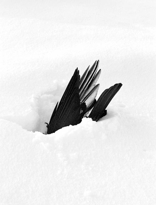bird #snow #black #bird #feathers #photography #nature #winter
