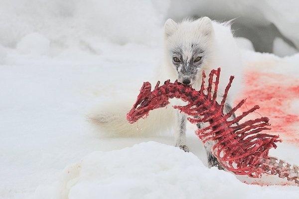 1.jpg (800×533) #white #red #fox #artic #carcass #eating