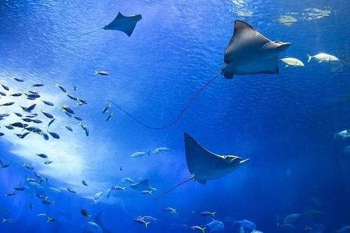 rhys #ocean #fish #stingray #creatures #sea #animals #swimming