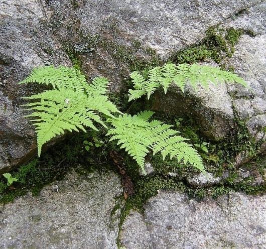 Google Image Result for http://www.greenart.com/plantphotos/ferns/Fern%2520in%2520Whte%2520Mts%252008-fll.jpg #ferns