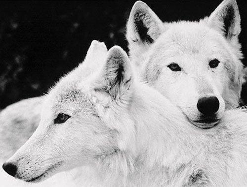 tumblr_l7uuy7sXWv1qcb9mjo1_500.jpg (500×380) #white #wolf