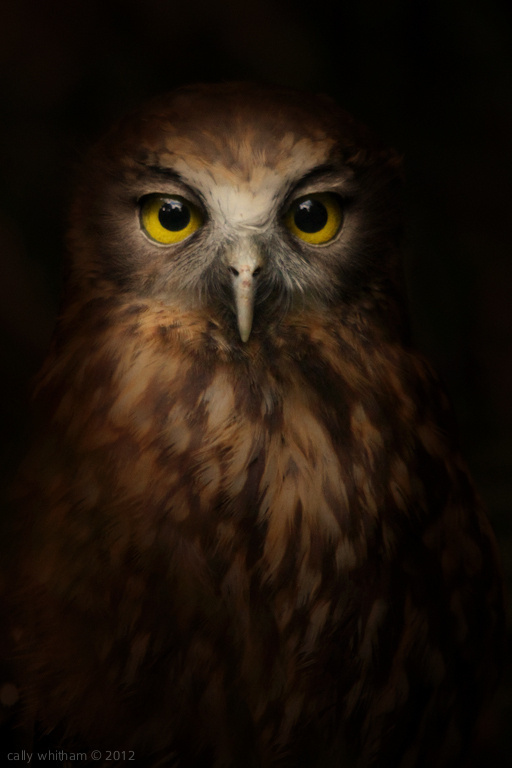 native #photography #animal #owl #portrait