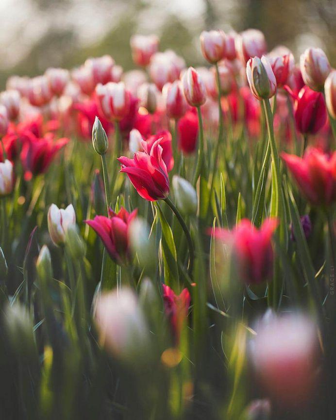 Blooming tulips by Grace Li