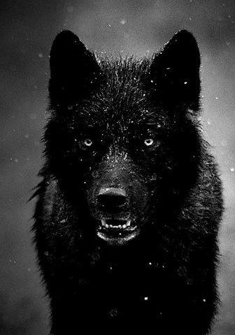 La gentille Bulbeuse #wolf