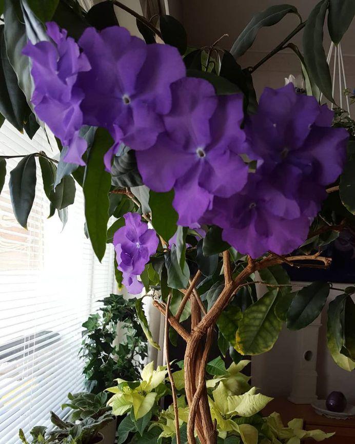 Brunfelsia Flower Picture