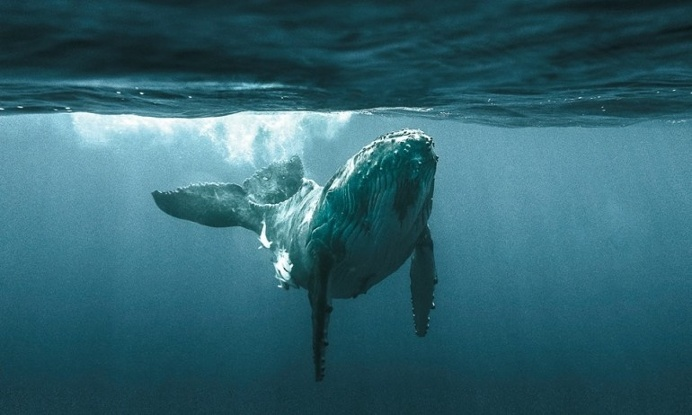 ocean and great blue whale Find and save ideas about blue whale on pinterest | see more ideas about whales, scary ocean and animals sea.
