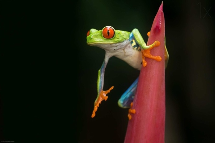 Best Captured Photos of Frogs by Nicolas Reusens #animals #photography #frog #macro #inspirations