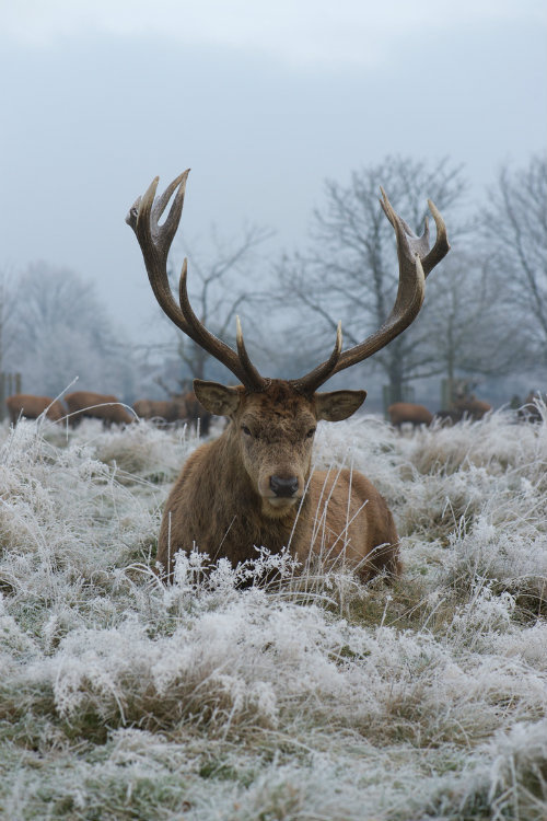 """ternpest: Christmas Stag by Max Ellis Dude looks pissed…as if he saying """"ffs, do I look like i fucking know santa, hes not real mother #antlers #deer #beast #power #cold #winter #snow #stag #photography #nature #animal #beauty"""