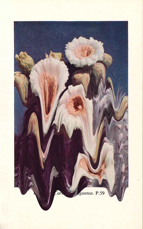 Plate 57. Carnegiea Gigantea #print #cacti #tanimura #hana #succulents #paint #melting #flower #cactus #plant