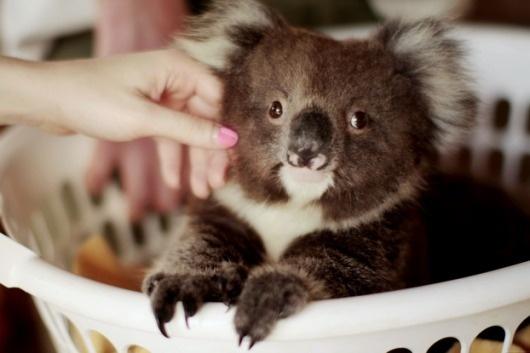 The cherry blossom girl #koala #bear #photography