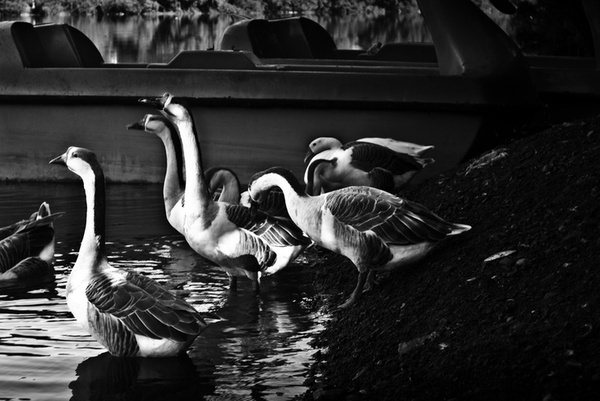 Swans #birds #nature #animal #water