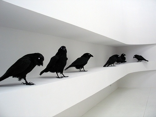 tumblr_ld2asePSTL1qaf7nco1_500.jpg (500×375) #white #crow #black #and