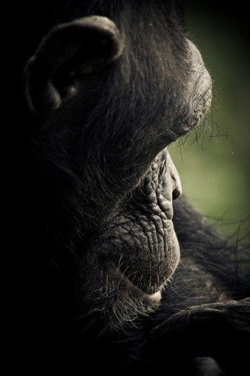 CHIMPANZEE SANCTUARY by Gabi Guiard » Design You Trust – Design and Beyond! #photography #monkey