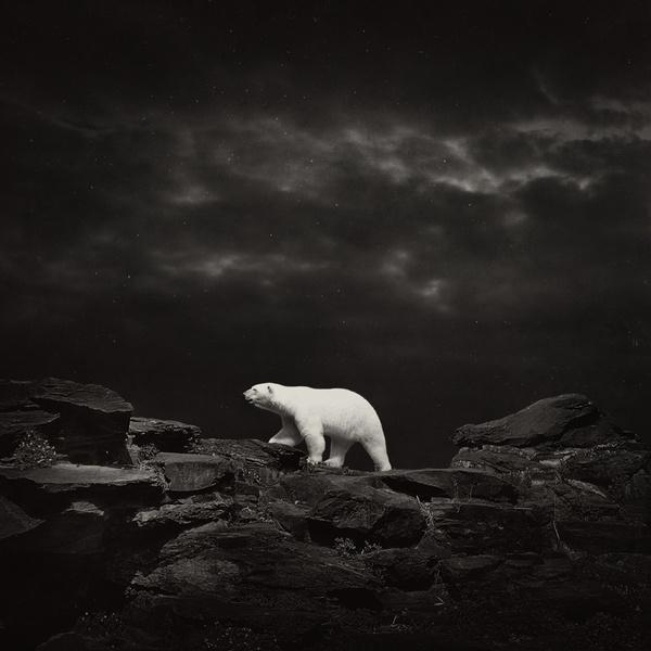 Polar Bear 8306 #bear #polar #photography