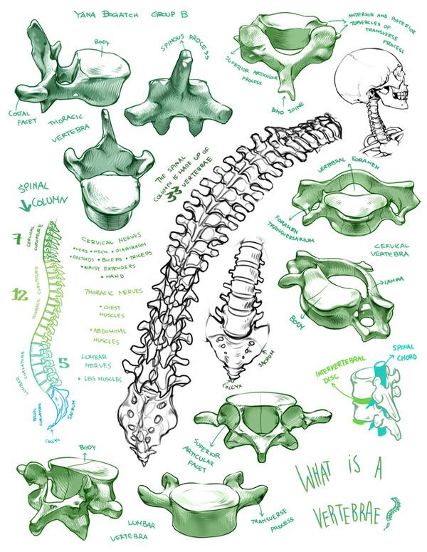 (fryingtoilet: Bone portfolio for LD class from...) #spine #skeleton #biology #drawing #anatomy #illustration #skull #bones #vertebrae #life