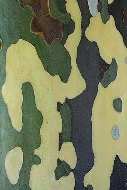 Eucalyptus Bark #bark #nature #pattern