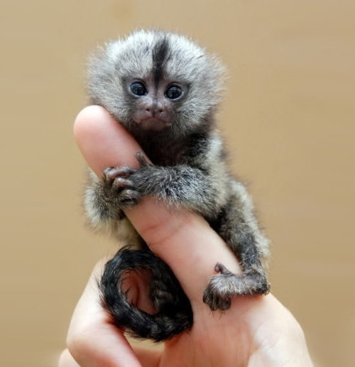 DeadFix » Mono #tiny #monkey #animals #finger #furry
