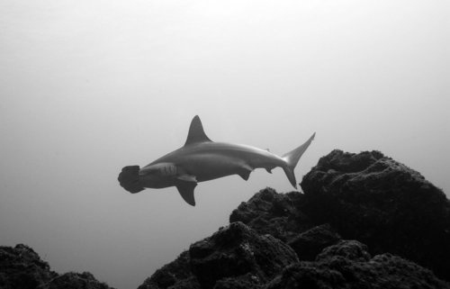 http://love-less.tumblr.com/page/4 #white #black #shark #photography #abyss #and #hammerhead