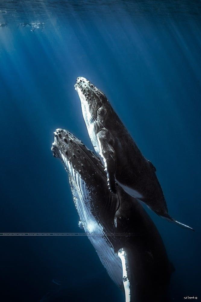 Humbpack whales – Réunion island. by Seb