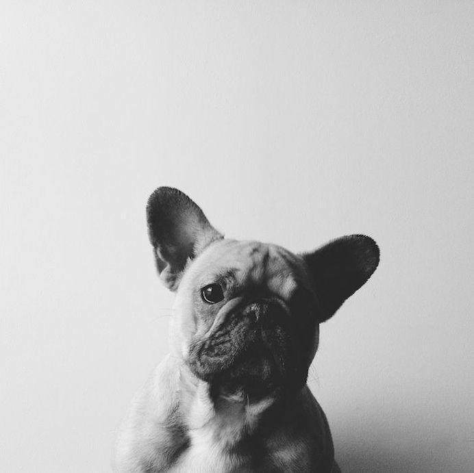 French bulldog #bulldog #photography #animal #grey
