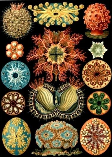 haekel-28.jpg (Immagine JPEG, 400x559 pixel) #illustration #scientific #vintage