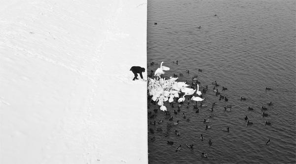 A Man Feeding Swans in the Snow #swans #white #ryczek #black #photograph #and #marcin #half