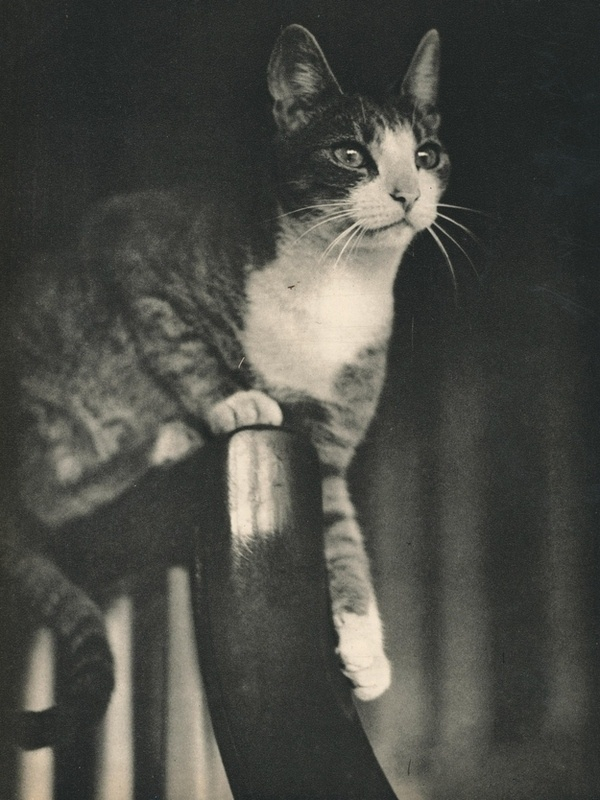 Sam, 1937 #cat #vintage #photograph