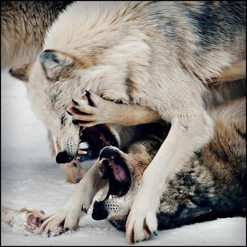THEM THANGS #fight #wolf