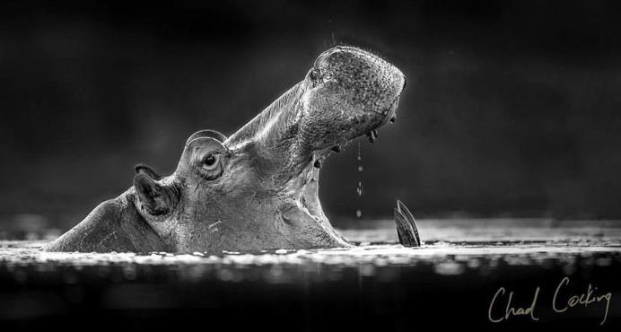 Amazing Wild Animals Portraits by Chad Cocking