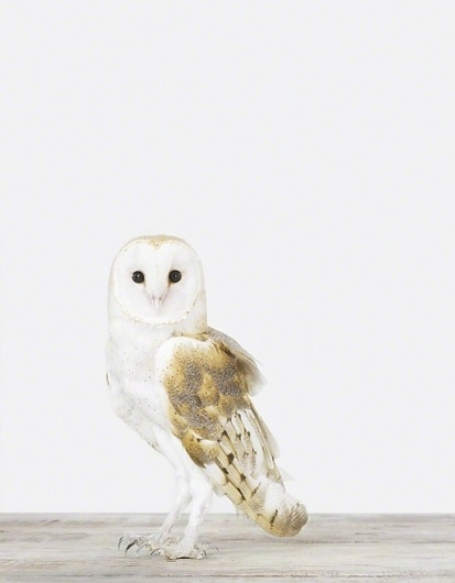 Owl - The Animal Print Shop - Sharon Montrose - Animal Photos - Wildlife Photography - Limited Edition Prints - Wall Decor -Gift Ideas - Unique Gifts #photography #owl