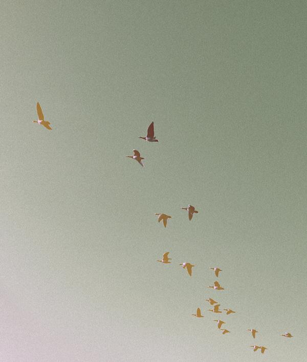The Goose #goose #print #palegrain #birds #photography #nature #poster