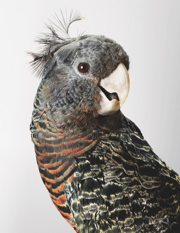 Mrs Skyring Gang Gang Cockatoo thisispaper #photography #cockatoo #bird #portrait