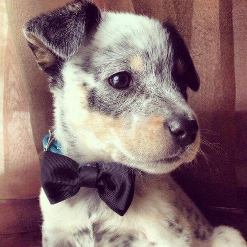 puppies with bowties. how can you not turn into a puddle of suck