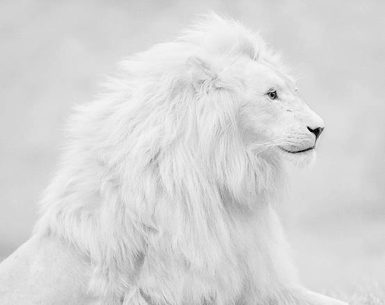 White Lion #leopard #giraffe #white #cheetah #lion #wildlife #african #safari