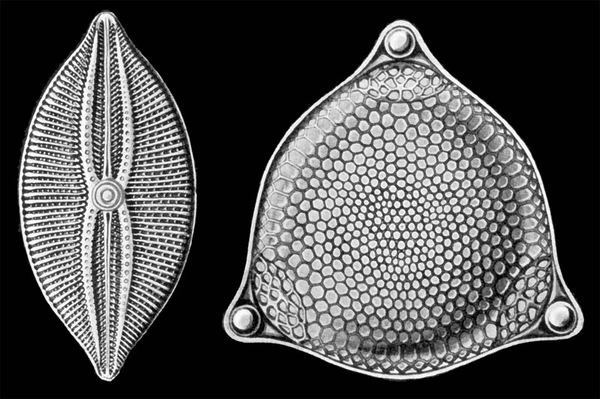 File:Diatomeas Haeckel.jpg #electron #geometry #algae #microscope