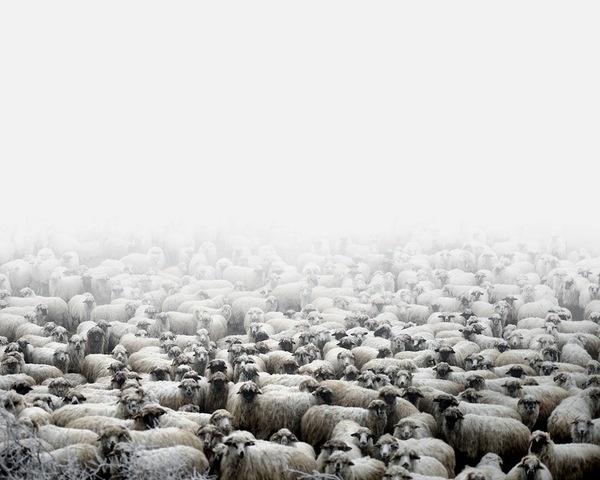 Tamas Dezso - NOTES FOR AN EPILOGUE (2011 - ongoing) #fog #tamas #photography #dezso #sheep #animal