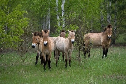 Pictures: Animals Inherit Mixed Legacy at Chernobyl #chernobyl #horse #endangered