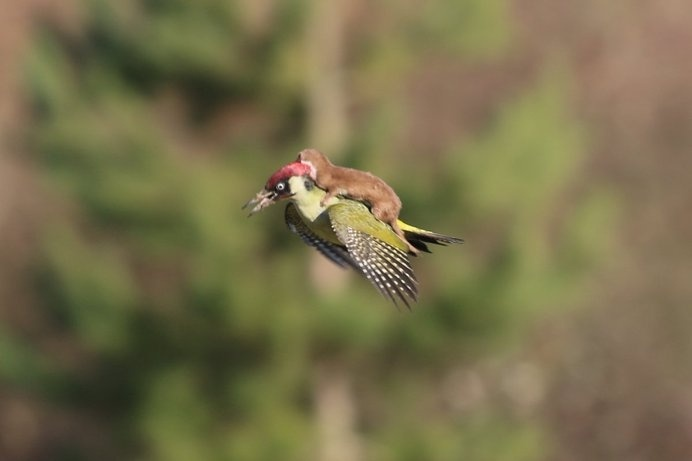 http://static3.businessinsider.com/image/54f4f7dd69bedd344e150751-1200-858/greenwoodpeckerplusone.jpg #stole #you #woodpecker #photography #drive #it #like #weasel