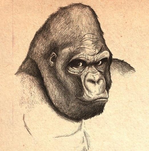 ape_lg.jpg 600×608 pixels #illustration #drawing